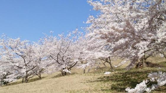 東八甲田家族旅行村「桜見ごろ」