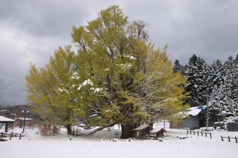 大銀南木 黄葉状況2016(11月11日 雪が降り、葉が散りました。)